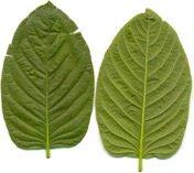 Vorder- und Rückseite von Kratomblättern mit grünen Blattvenen.
