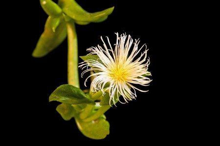 kanna droge heilpflanze extrakt